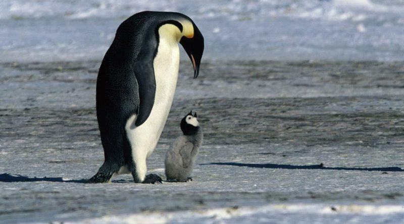 PingvinMarsj